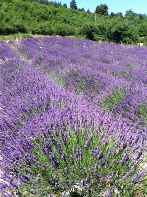 photo lavender.JPG