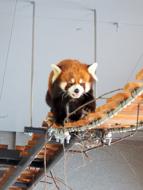 Red Panda strolling on the wooden suspension bridge