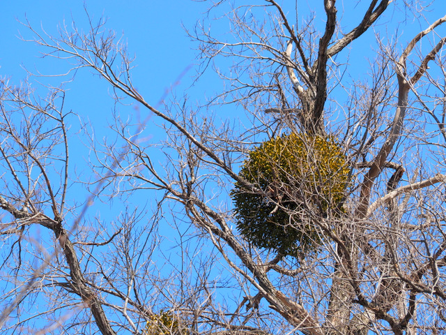 Mistletoe with a Little Green Leaves in a Big Tree