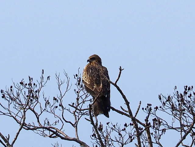 Black Kite on the Alnus Japonica Tree