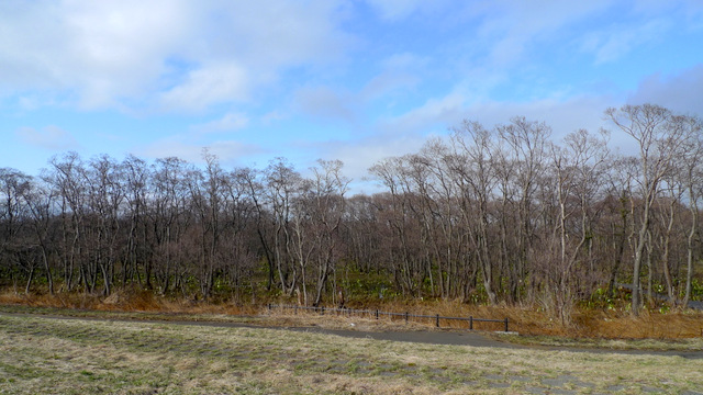 Makunbetsu Marshland that is one of the Big Community of Skunk Cabbage in Hokkaido