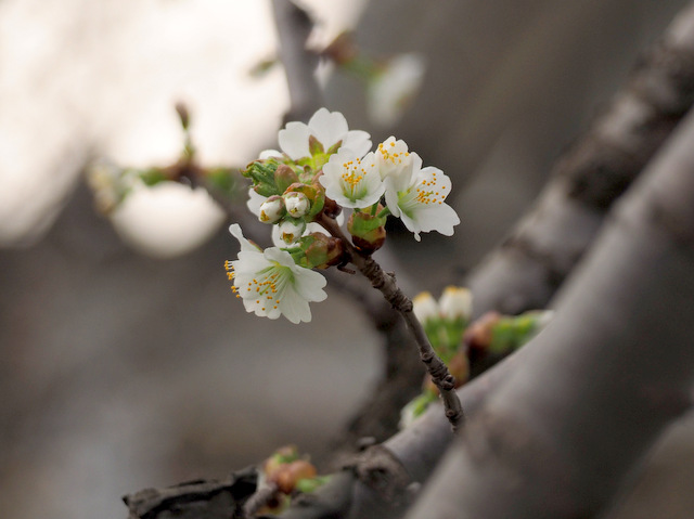 Chishima Cherry Blossoms with white and smaller flowers