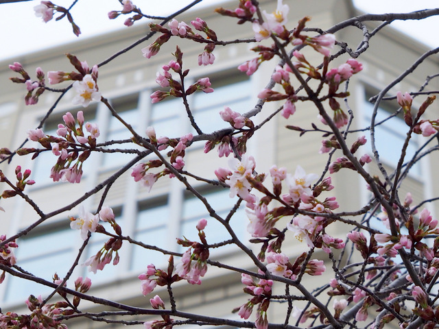 Cherry Blossoms start to bloom in the garden of Hotel Monetrey Sapporo