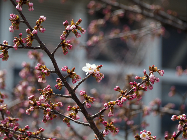 Chishima Cherry Tree with Pink Buds and White Blossom