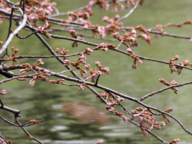 Cherry Blossoms on April 21, 2015 in the garden of the Former Hokkaido Government Office