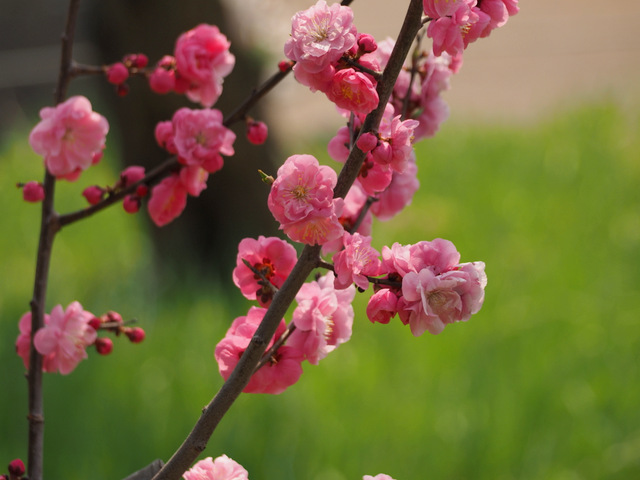 Red Plum Blossoms in full bloom