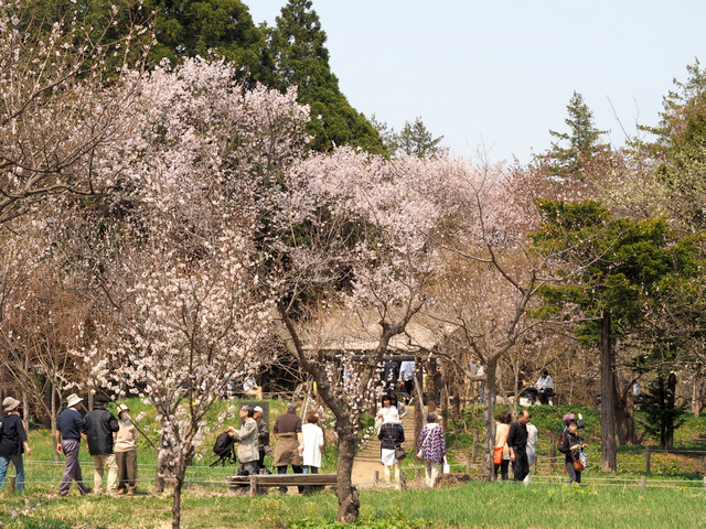 Japanese Plum Trees (front side) and Cherry Blossoms (behind) in full bloom all together