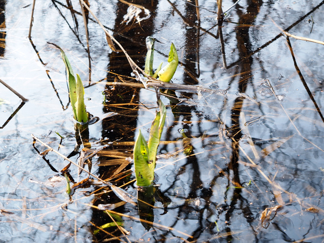 Buds of Skunk Cabbage
