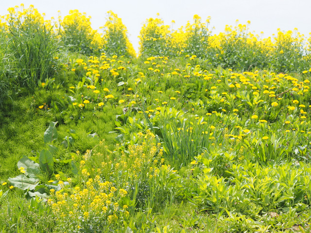 Field Mustard, Dandelion and Yellow Rocket