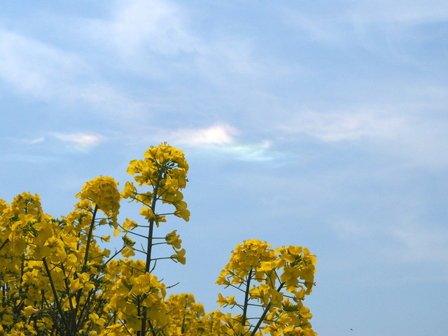 Field Mustard and Iridescent Clouds