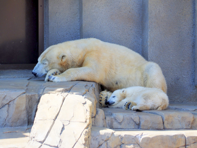 "Polar Bear ""Lala"" and her Baby"