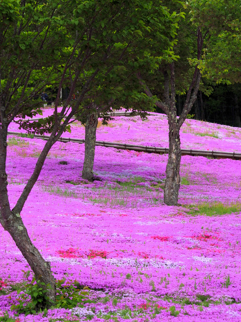The slope of Takinoue Park covered with Moss Phlox