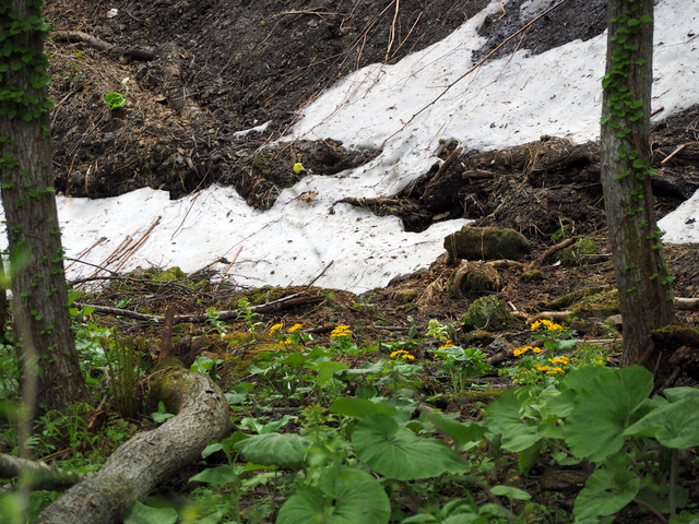 "Remnant snow and ""Caltha palustris var. barthei"""