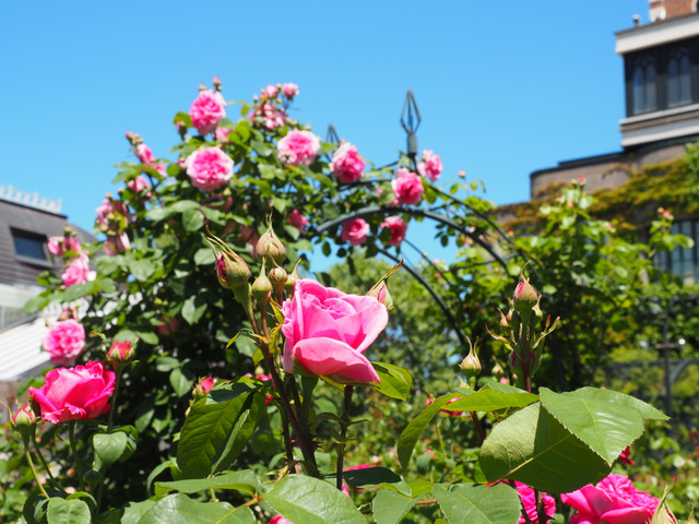 Rose Garden with 200 kinds of roses in Shiroi Koibito Park