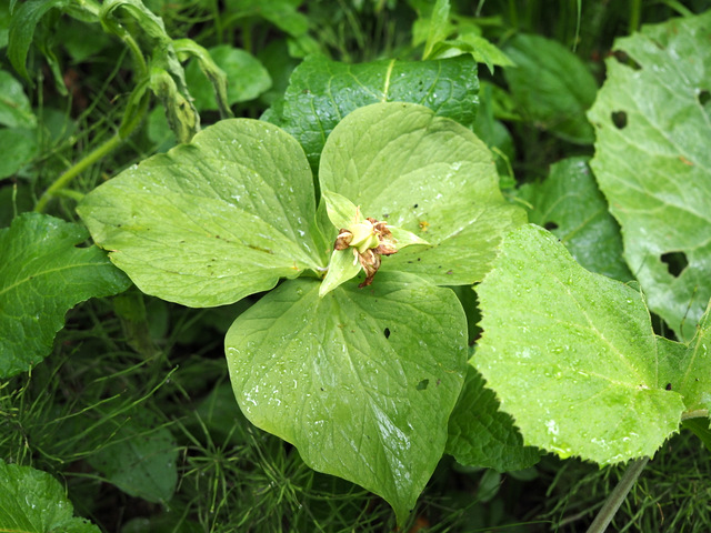 Trillium Kamtschaticum that is producing seeds