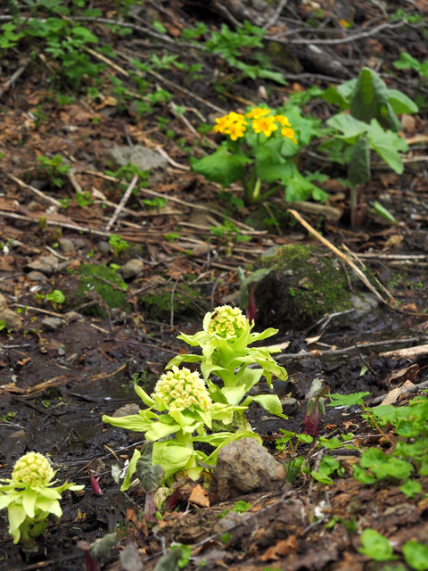 butterbur sprout and  Caltha palustris var.barthei