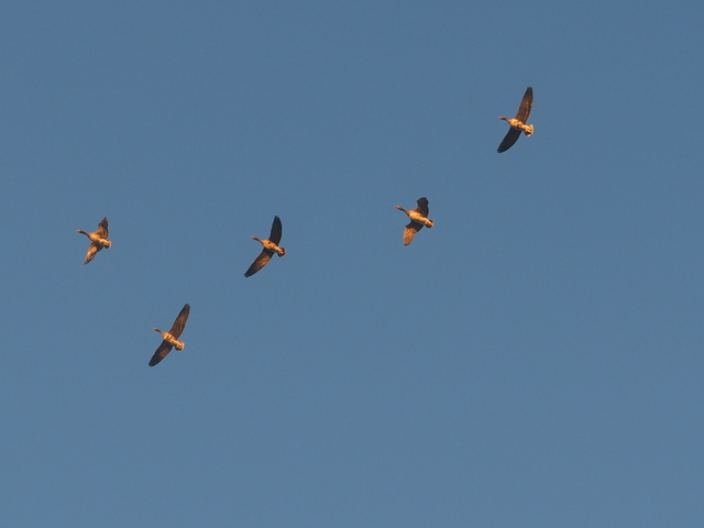 White-fronted geese flying in the morning sunlight