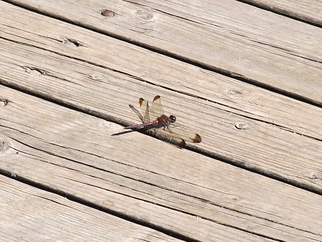Dragonfly on the viewing deck