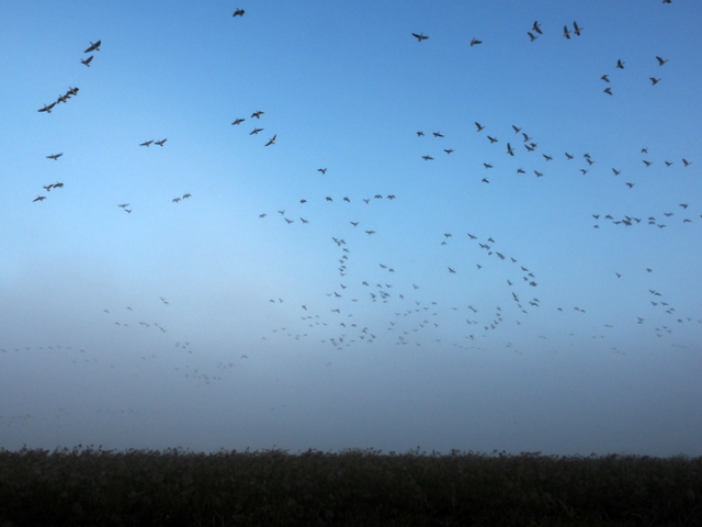 Waterfowls flying away at the peak of the number