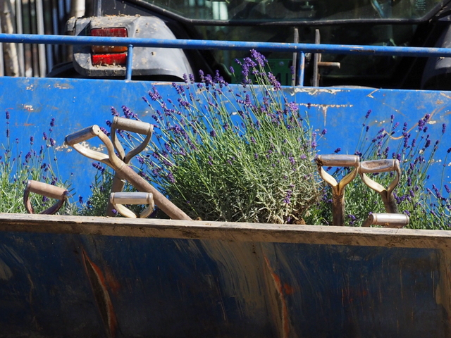 Lavender in the shovel of tractor