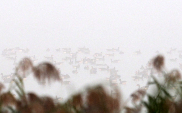 Fowlbirds floating and waiting for the time to flight in the mist