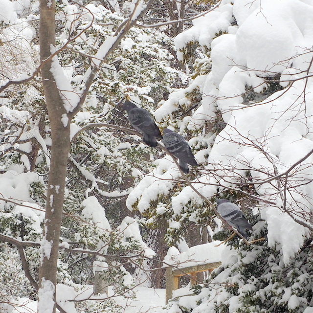 Pigeons on the tree in the snow