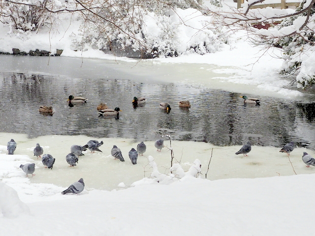 Pegeons and dabbling ducks and the pond in the yard of the Former Hokkaido Government Office Building