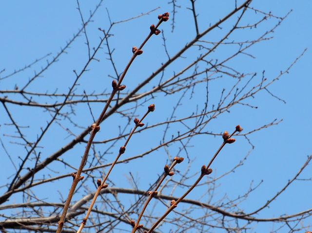 Young buds of a lilac in Sapporo Odori Park