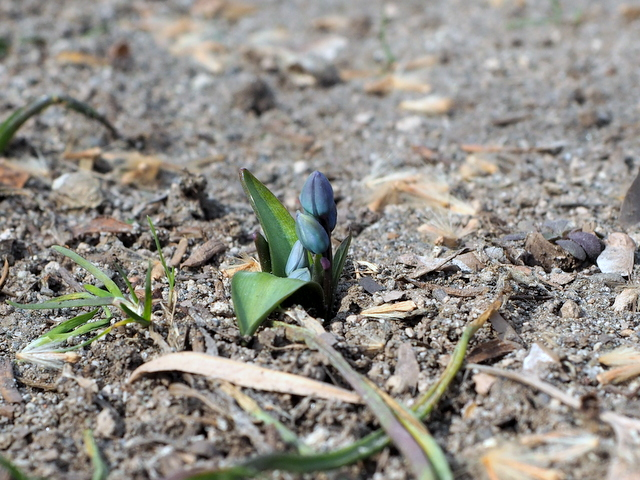 Young bud of flower in the flowerbed of Odori 5-chome