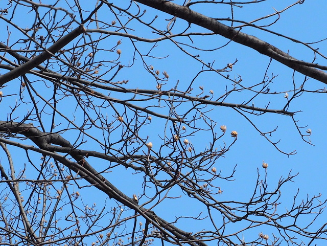 Young buds of the leaves on a tulip poplar in the Sapporo Odori Park