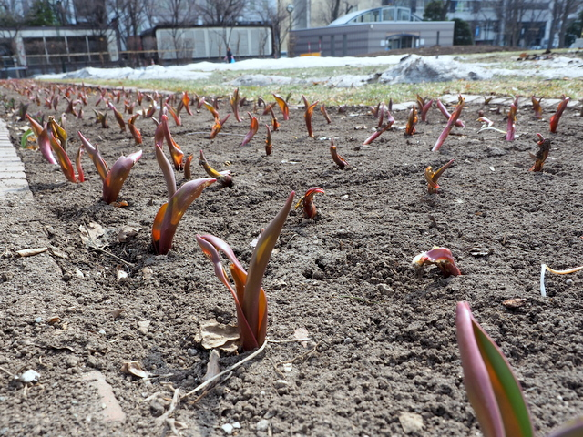 Young buds of tulips in the Odori Park 5-chome
