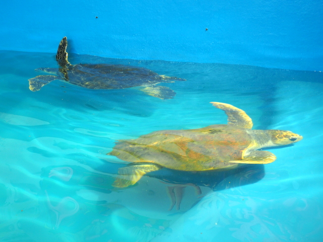 Green turtle and loggerhead turtle at the entrance