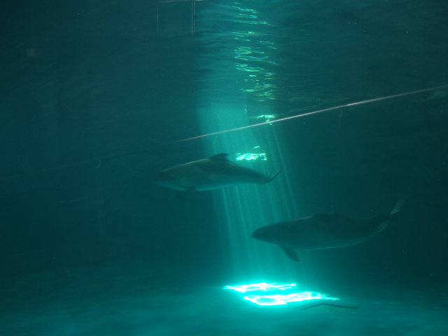 Porpoises which are swimming fast