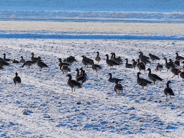White-fronted geese in the field with snow in April