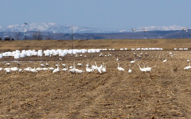 Field in Kita-mura with Bewick's swans, which is located near Miyajimanuma Swamp