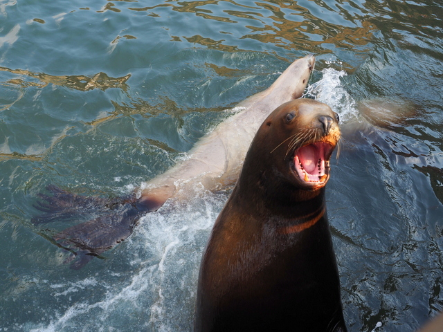 Sea lions which are trying to catch the feed fish thrown by visitors