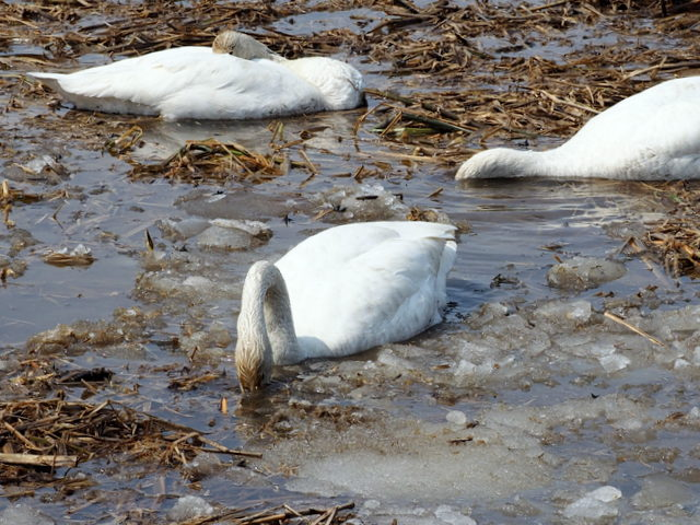 Bewick's swans which are eating food in the water