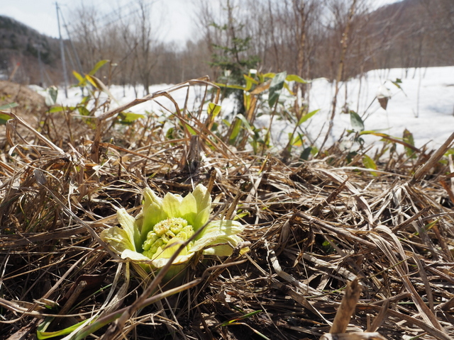 Butterbur sprout and snowfield in Shimukappu-mura