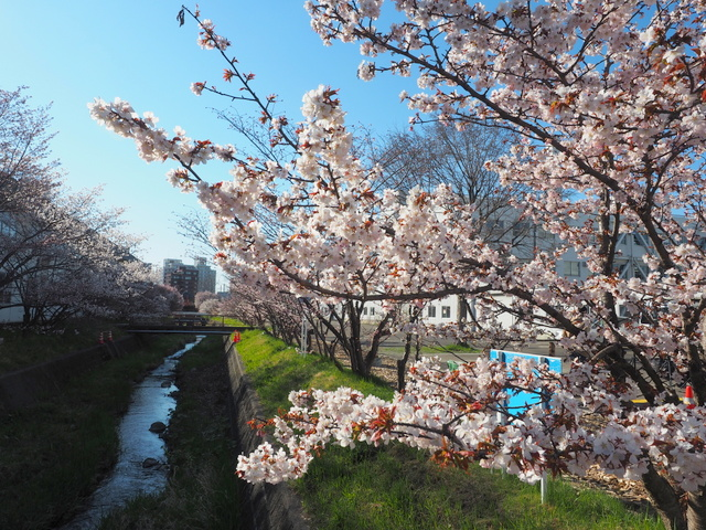 Chishima cherry trees in the yard of Civil Engineering Research Institute for Cold Region