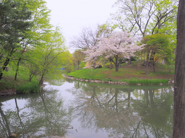 Iris Pond and cherry tree in Nakajima Park