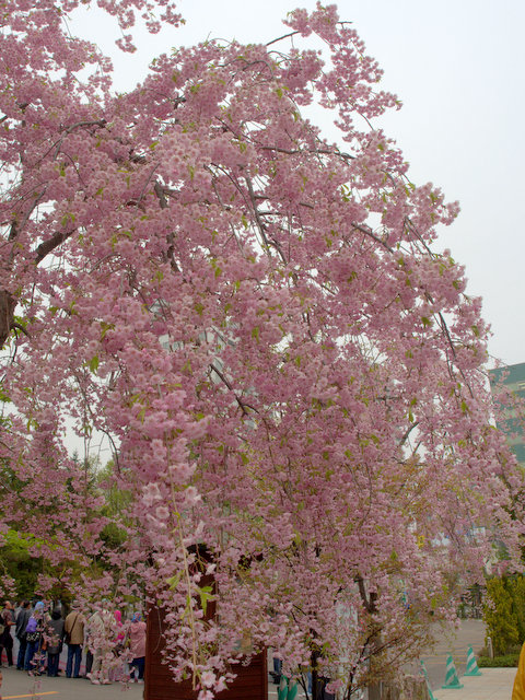 Weeping cherry tree in the yard of Sapporo Park Hotel