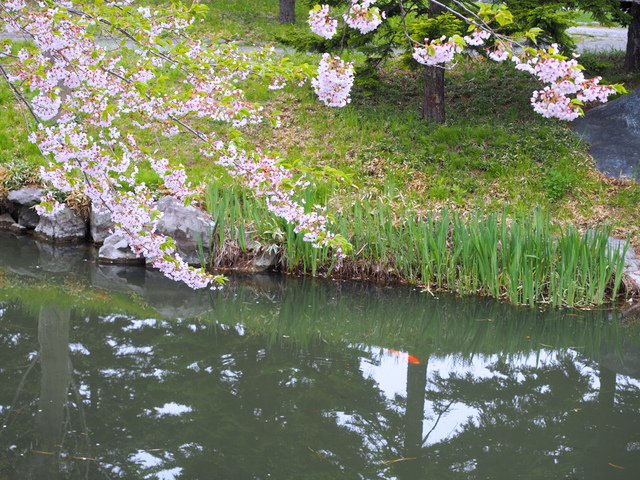 Cherry tree and Iris Pond with carps