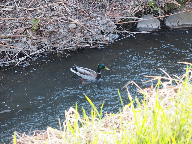 Wild duck which dropped down through the air on Shojin River flowing in the yard of Civil Engineering Research Institute for Cold Region