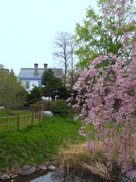 "Weeping cherry and ""Hoheikan"" with ultra marine blue"