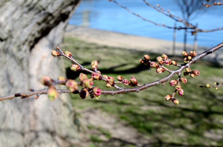 Cherry Blossoms in Tidal Basin on March 16.png