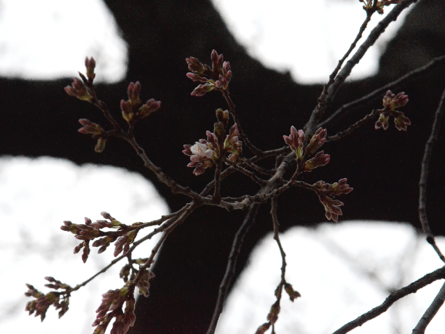 CHerry Blossoms in bloom in Washington DC across from FDR Memorial.png