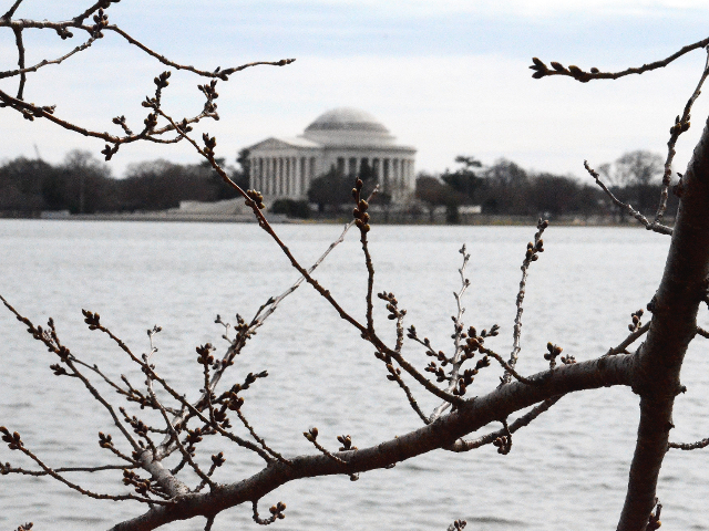 Cherry Blossom branch with Jefferson Memorial.png