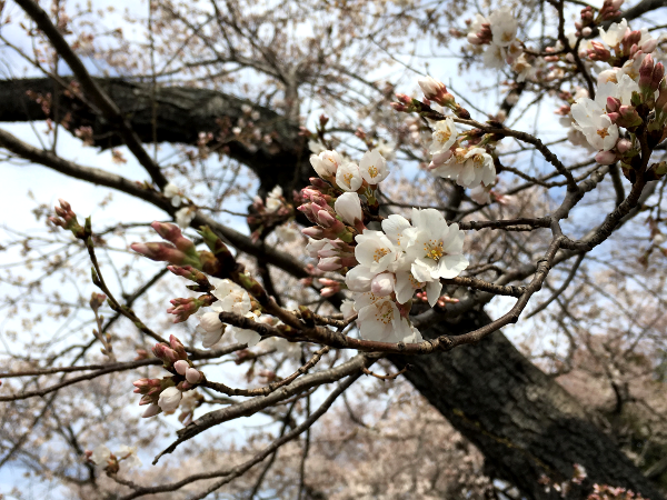 Cherry Blossoms by Potomac River.png