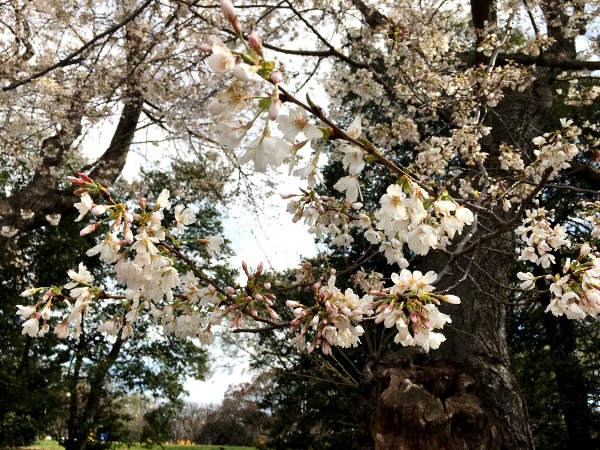 Cherry Blossoms in Washington DC.png