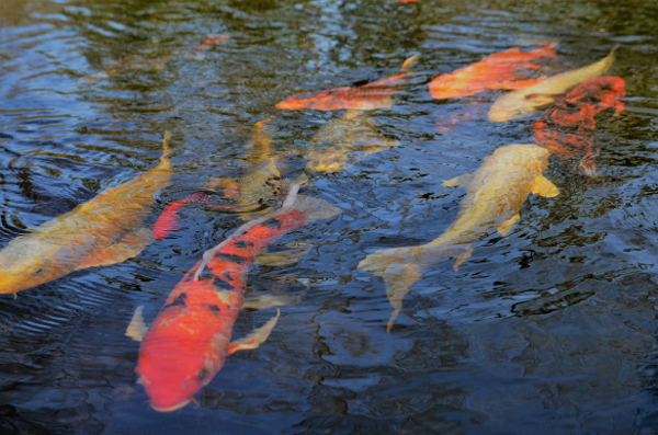 Koi Pond at Ladew.png